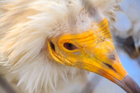 Portrait egyptian vulture or Neophron percnopterus