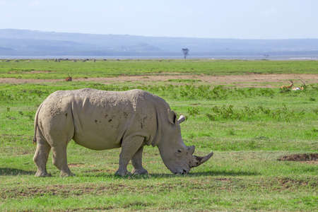 White rhinoceros or Ceratotherium simum in savanna