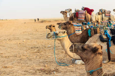 Camel saddled for ride