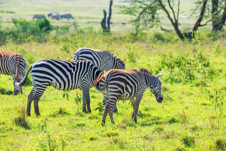 Zebras grazing in savanna