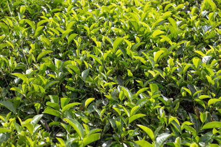 Green lush leaves of tea or Camellia sinensis in Sri Lanka