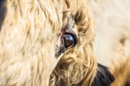 Eye of young domestic yak or Bos grunniens