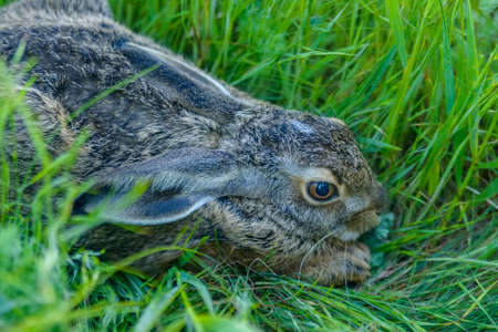 Close up frightened grey rabbit sits in grass