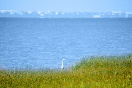 Stork hides in tall grass on sea shore