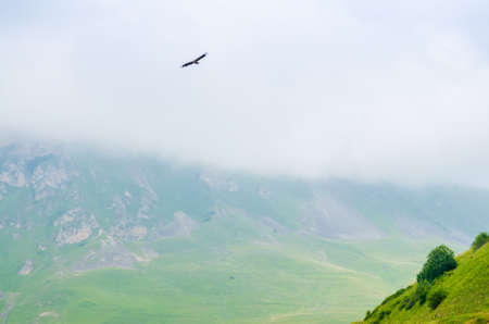 Griffon vulture or Gyps fulvus flies in mountains Stock Photo