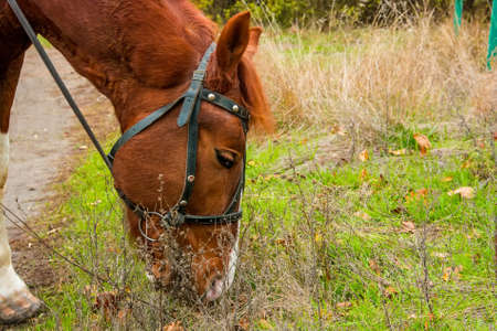 Head of a horse eating grass Stock Photo