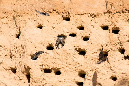 Sand Martins or Riparia riparia in nesting holes Stock fotó