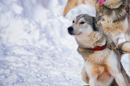 Close up playful Husky dogs used for sledding in snowy Russian city 免版税图像