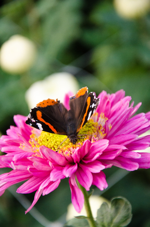 admiral: Red admiral butterfly