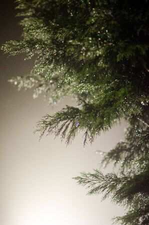 pinetree: Foggy Pinetree