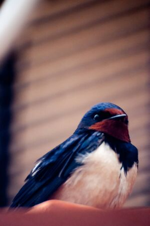 insectivores: Barn Swallow