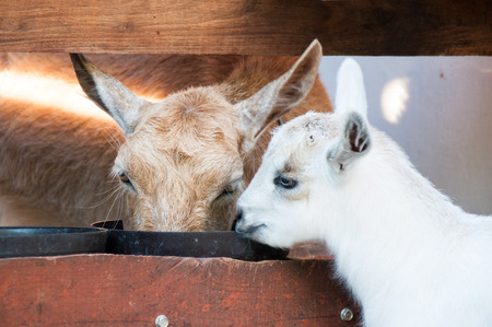 baby goat: Baby goat with his mother
