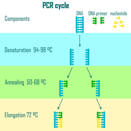 PCR cycle scheme showing dna molecule on different stages