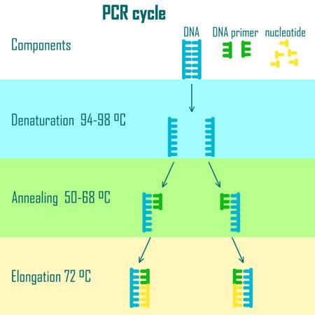 PCR-cyclus schema toont DNA-molecuul op verschillende stadia