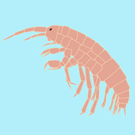 krill: Amphipoda - small animal,  planktonic organism related to crabs, lobsters, crayfish, shrimp and krill. Illustration