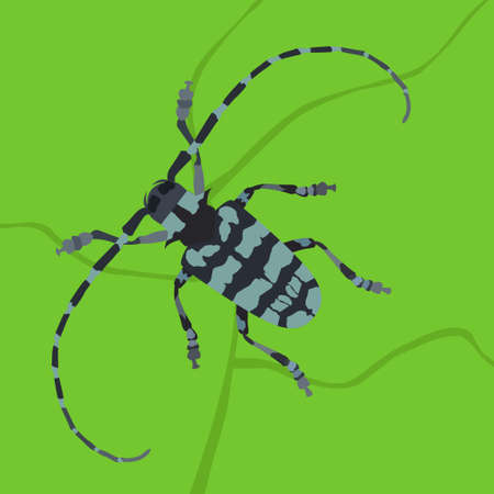 coleoptera: Beetle bug with long antenna on green leaf background. Vector detailed illustration of beetle insect. Illustration