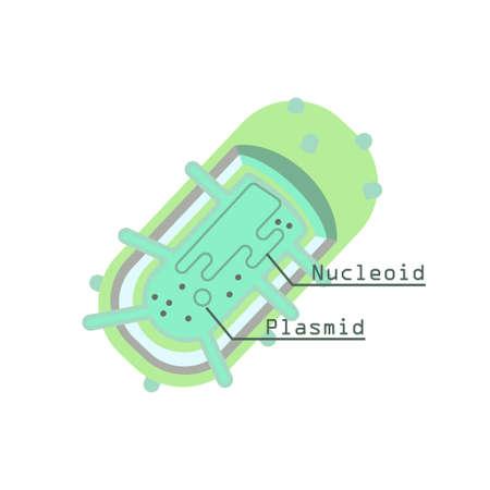 gram negative: Plasmid in bacterial cell. Stock vector illustration of prokaryotic organism with DNA molecule.