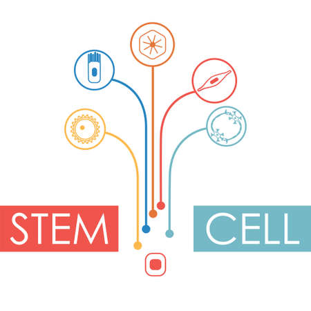 Different human cell types developing from a stem cell. Stock vector illustration of nerve, epithelial, muscle, blood, oocyte. Medicine and biology collection