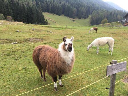lama lamas south tyrol italy Banco de Imagens