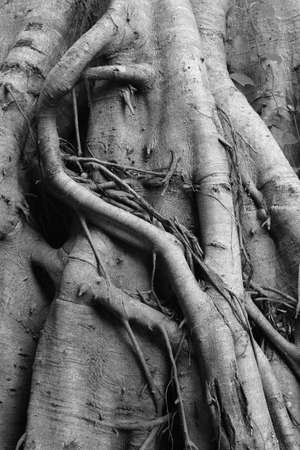 Old Tree in Thailand photo