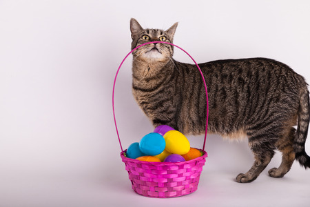 Gray and black tabby cat smelling Easter egg basket Stock Photo