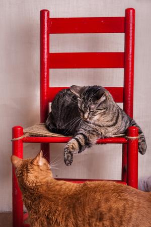 Cats interacting gray and black tabby striking orange tabby kitty  in studio shot Stock Photo - 110858113