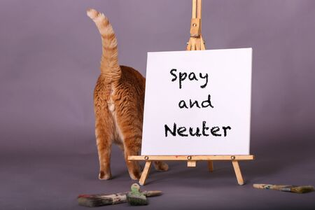 Spay and Neuter square sign sitting on painters easel orange cat back side tail up standing by message in studio