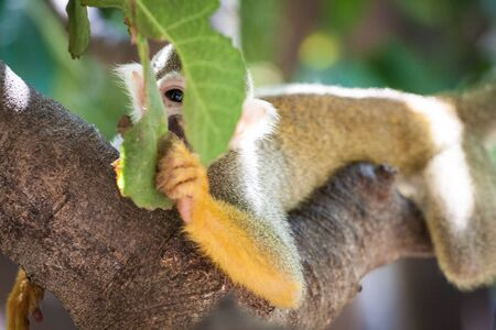 Cute Squirrel Monkey looking playfully through leafs. Stock Photo