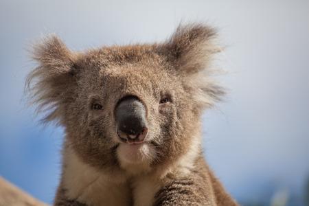 Extreme closeup of Koala staring into the camera