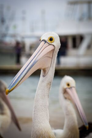 Extreme closeup of Australian Pelican with another pelican in the background.