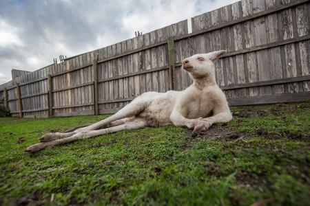 Funny portrait of albino kangaroo lying down in frivolous pose