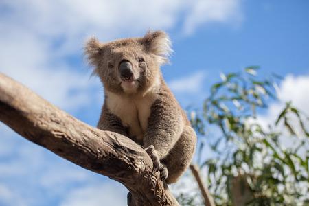 Portrait of Koala sitting on a branch. Stock Photo