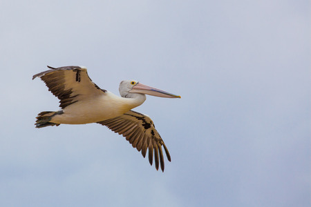Australian Pelican spreading wings in flight.