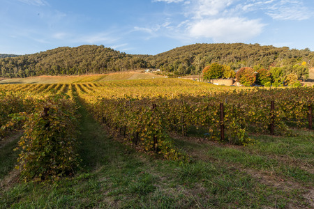 Vineyard in Australia in Autumn with forested hills in background Stock Photo