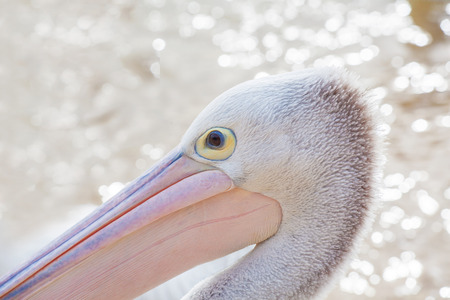 Portrait of a Pelican on blurred water background. Banco de Imagens
