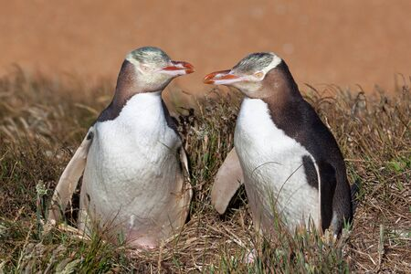 Two Yellow Eyed Penguins looking at eachother, South Island, New Zealand