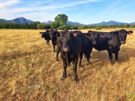 intensely: Five black cows in fight formation staring intensely, Canterbury, South Island, New Zealand