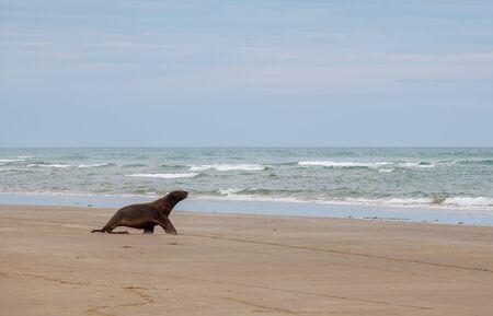 Sea Lion wallking on the beach, Otago, South Island, New Zealand