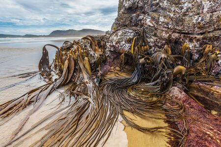 Huge bull kelp on the rocks of Cathedral Caves beach, Catlins, South Island, New Zealand