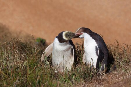 Two Yellow Eyed Penguins kissing, South Island, New Zealand Stock Photo