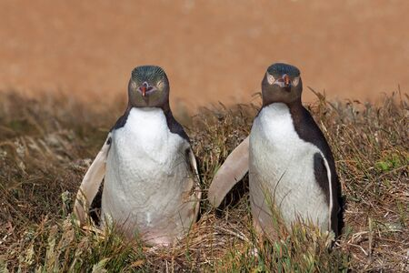 Two Yellow Eyed Penguins looking straight into the camera, South Island, New Zealand Stock Photo