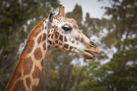 Closeup portrait of Girafe with its tongue out Stock Photo