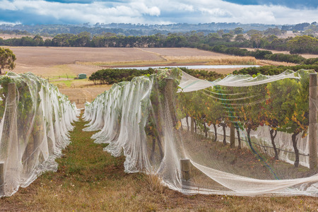 Rows of grape vines protected with bird netting with beautiful countryside at the background