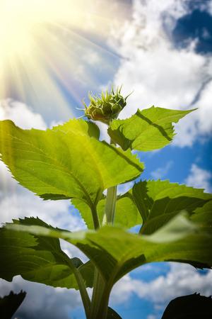 緑ひまわりのスプラウト、持続可能なエネルギーを照らす光