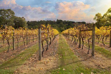 barossa: Vineyard in Yarra Valley, Victoria, Australia in autumn