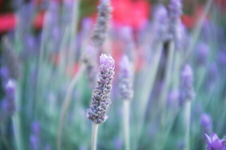 Closeup of lavender flower on blurred background. Pastel colors, shallow depth of field. Stock Photo