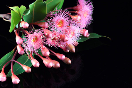 Elegant bouquet of pink Eucalyptus flowers, buds, and leafs, isolated on black background