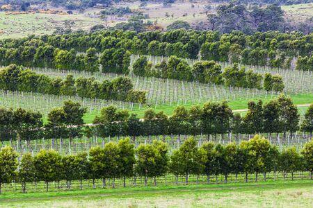 Closeup of vine rows in Devil's Corner winery, Apslawn, Tasmania, Australia