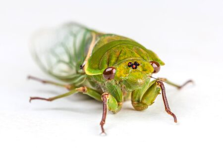 The Green Grocer Cicada - one of the loudest insects in the world. Isolated on white background