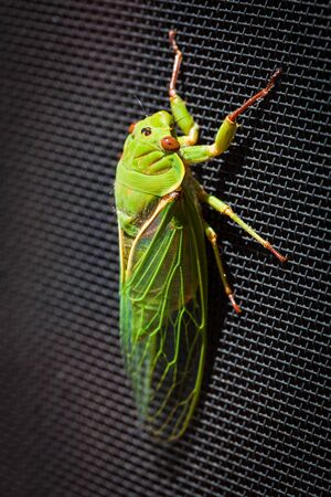 cigarra: The Green Grocer Cicada extreme closeup - one of the loudest insects in the world.